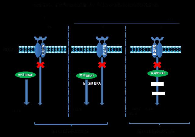 BRAF遺伝子変異の機能に基づく抗EFGR抗体の個別化治療の画像