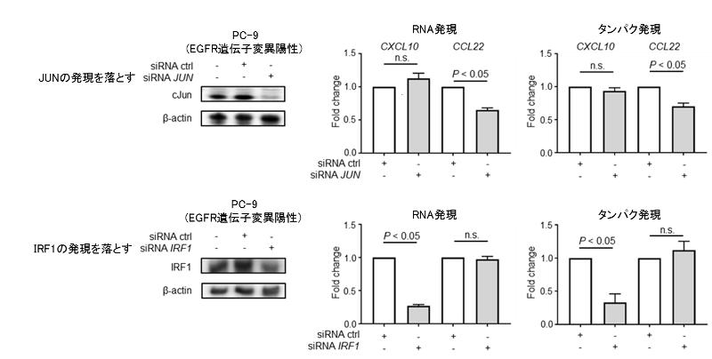 図6. 肺がん細胞株を用いたJUN / IRF1ノックアウト時のCXCL10 / CCL22の発現変化の検討
